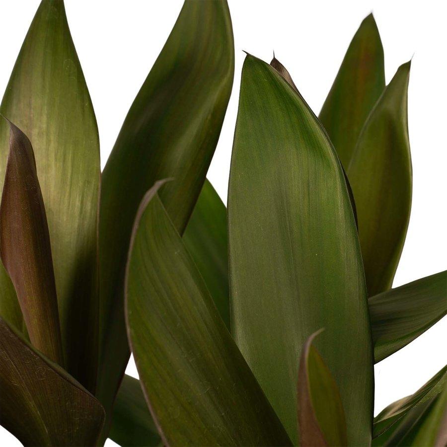 Decorum Cordyline Glauca met Elho brussels living black (19x60 cm)-2