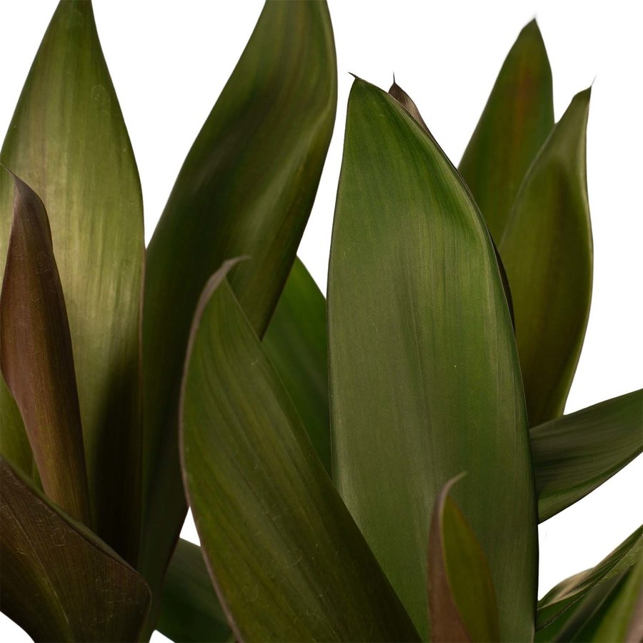 Decorum Cordyline Glauca met Elho brussels soap (19x60 cm)-2