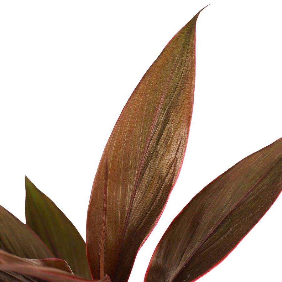 Decorum Duo 2 x Cordyline Tango met Anna grey (12x40 cm)-2