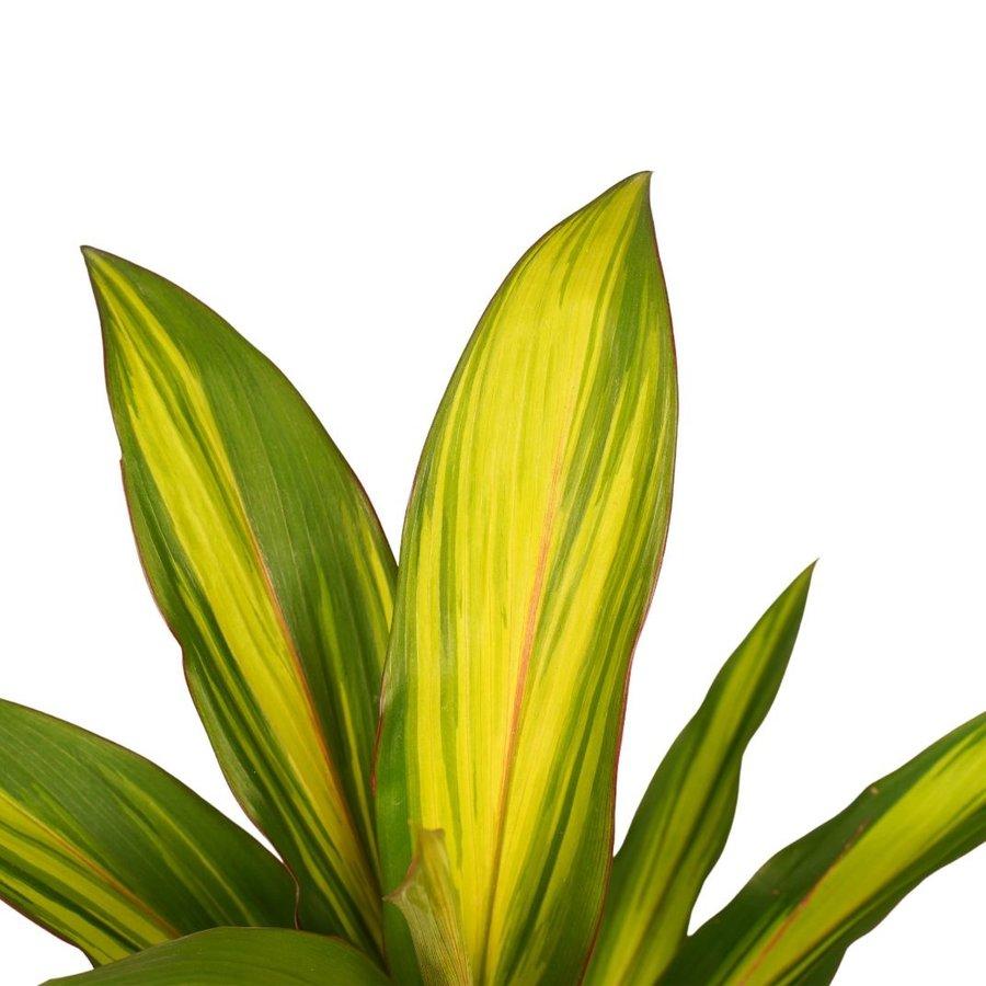 Decorum Cordyline Kiwi (12x40 cm)-2