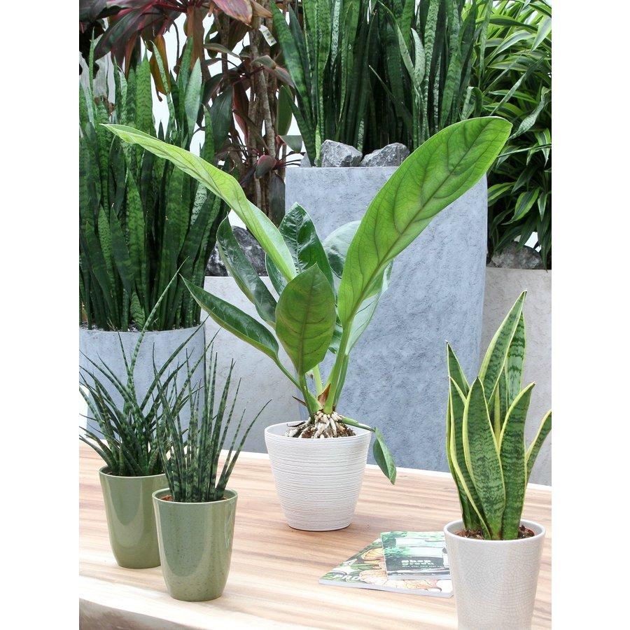 2 stuks Anthurium Jungle King (14x60 cm)-5