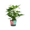 Decorum Anthurium Alaska (17x60 cm)