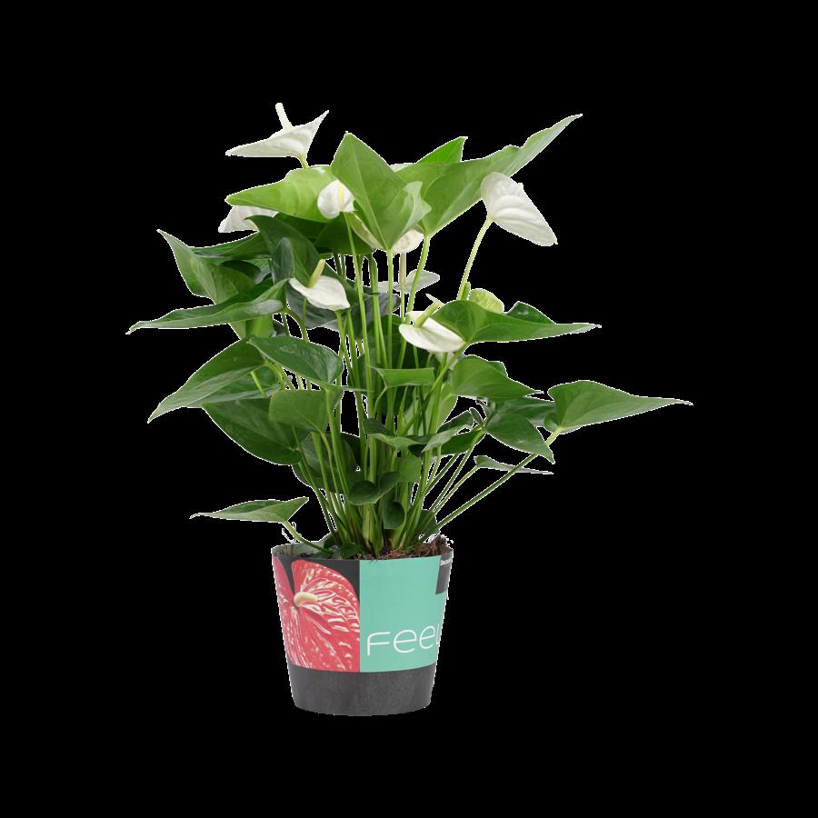 Decorum Anthurium Alaska (17x60 cm)-1