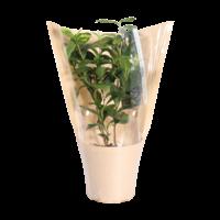 Thee plant (Camellia Sinensis - 12x40 cm)