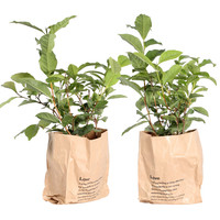 thumb-Thee plant (Camellia Sinensis - 12x30 cm)-1