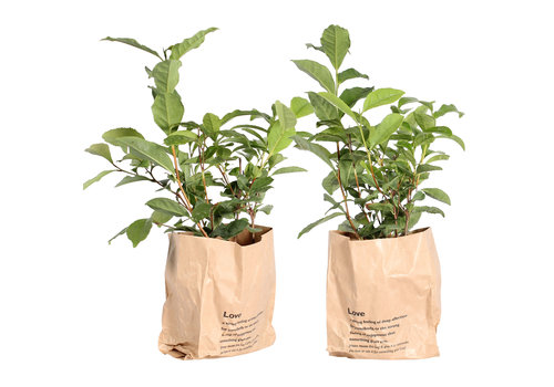 Thee plant (Camellia Sinensis - 12x30 cm)