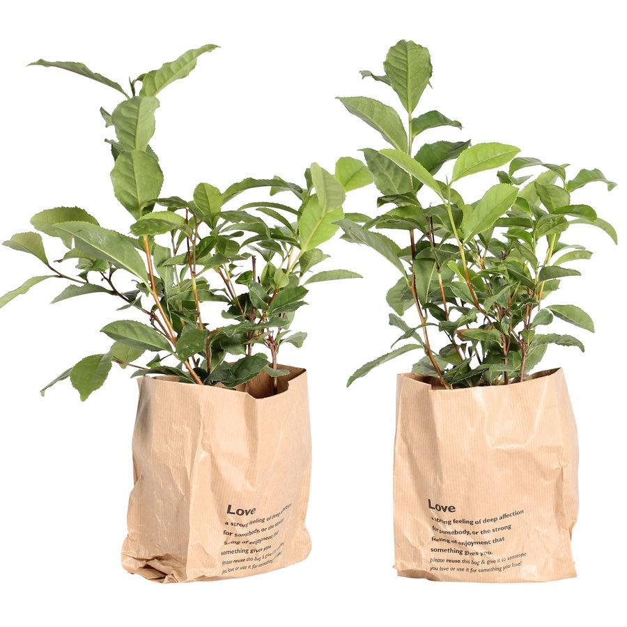 Thee plant (Camellia Sinensis - 12x30 cm)-1