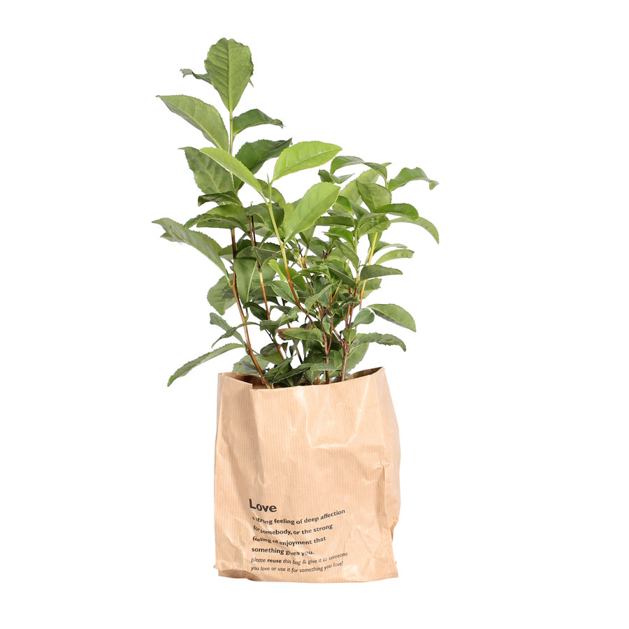 Thee plant (Camellia Sinensis - 12x30 cm)-2