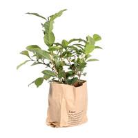 thumb-Thee plant (Camellia Sinensis - 12x30 cm)-3