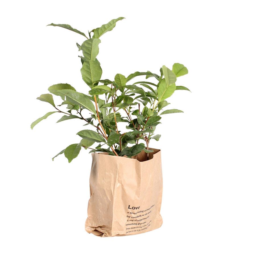 Thee plant (Camellia Sinensis - 12x30 cm)-3