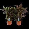 Decorum Duo Calathea Elgergrass (CAL17ELG30D01 - 17x50 cm)