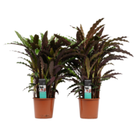 thumb-Decorum Duo Calathea Elgergrass (CAL17ELG30D01 - 17x50 cm)-1