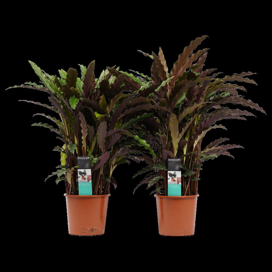 Decorum Duo Calathea Elgergrass (CAL17ELG30D01 - 17x50 cm)-1