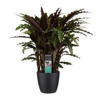 thumb-Decorum Calathea Elgergrass met Elho brussels living black (CAL17ELG30D01 - 17x50 cm)-1