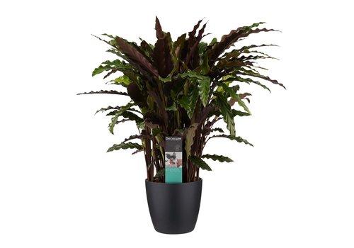 Decorum Calathea Elgergrass met Elho brussels living black (CAL17ELG30D01 - 17x50 cm)
