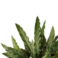 thumb-Decorum Calathea Elgergrass met Elho brussels living black (CAL17ELG30D01 - 17x50 cm)-2