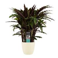 thumb-Decorum Calathea Elgergrass met Elho brussels soap (CAL17ELG30D01 - 17x50 cm)-1