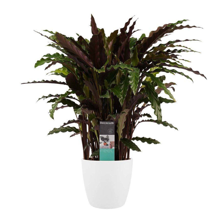 Decorum Calathea Elgergrass met Elho brussels white (CAL17ELG30D01 - 17x50 cm)-1