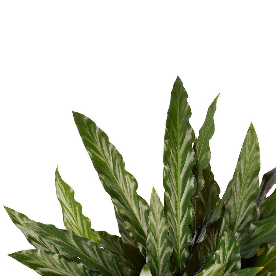 Decorum Calathea Elgergrass met Elho brussels white (CAL17ELG30D01 - 17x50 cm)-2