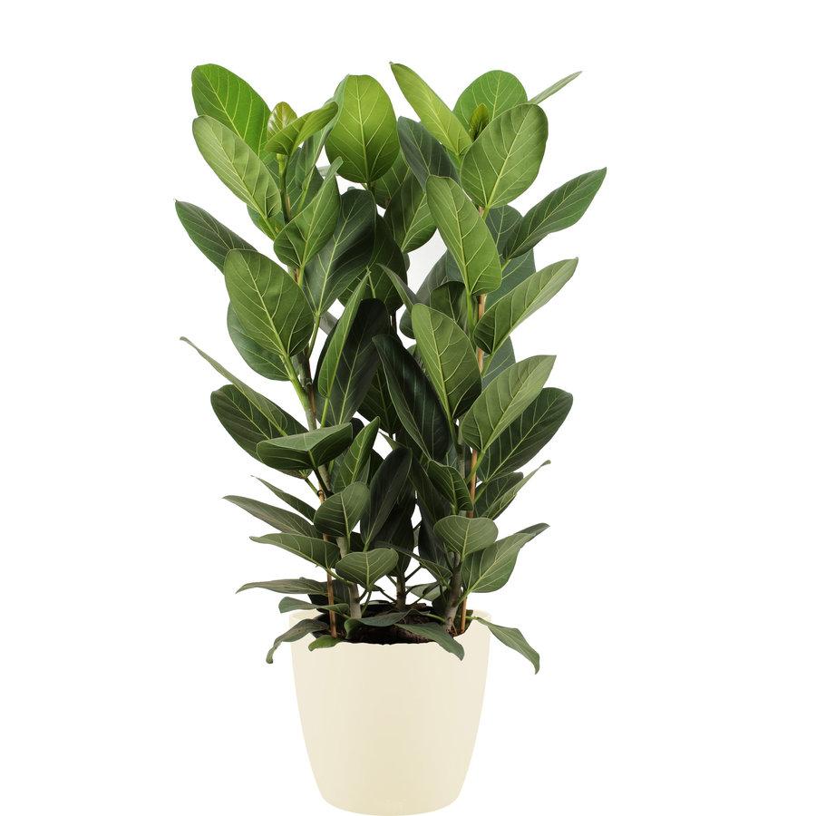Ficus Audrey in ELHO sierpot (soap) (30x90 cm)-1
