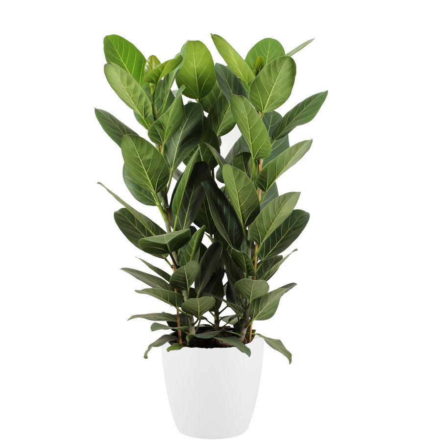 Ficus Audrey in ELHO sierpot (wit) (30x90 cm)-1