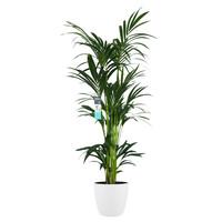 Decorum XL Kentia Palm in ELHO Brussels pot (wit) (246160DECO - 25x160 cm)