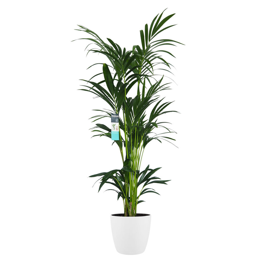 Decorum XL Kentia Palm in ELHO Brussels pot (wit) (246160DECO - 25x160 cm)-1