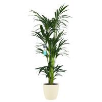 Decorum XL Kentia Palm in ELHO Brussels pot (soap) (246160DECO - 25x160 cm)