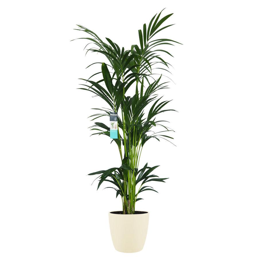 Decorum XL Kentia Palm in ELHO Brussels pot (soap) (246160DECO - 25x160 cm)-1