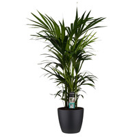 thumb-Decorum Kentia Palm - Elho brussels black (27x120 cm)-1