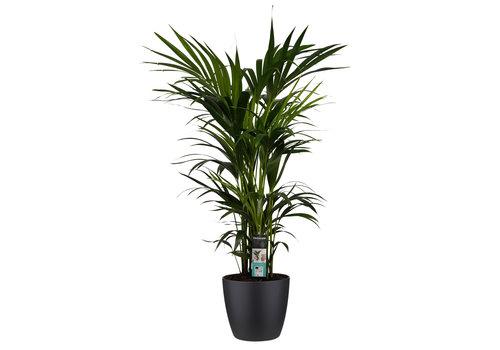 Decorum Kentia Palm - Elho brussels black (27x120 cm)