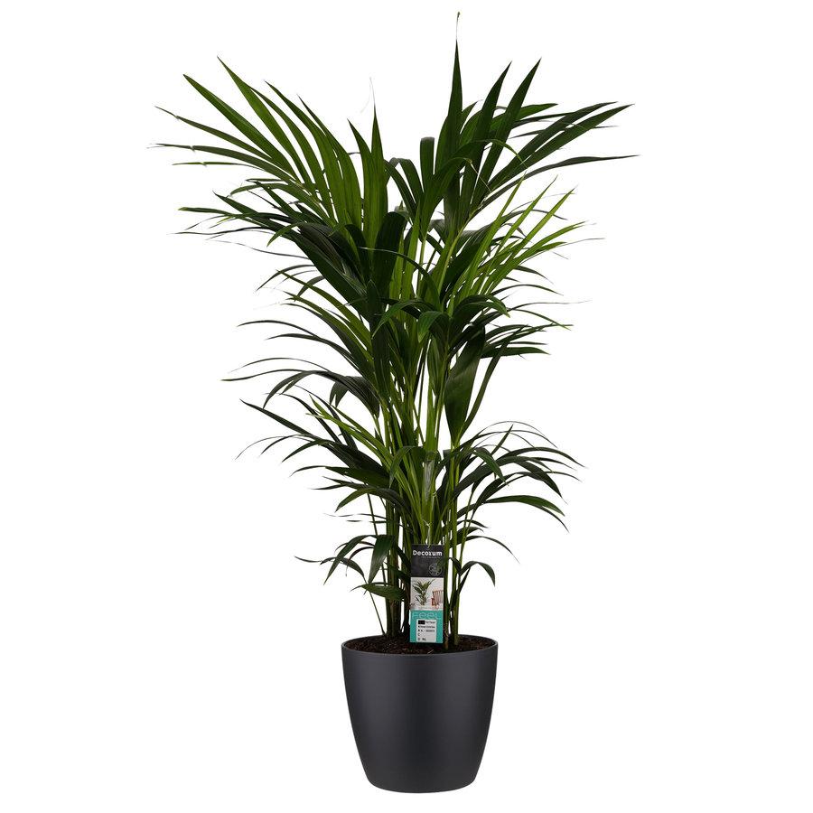 Decorum Kentia Palm - Elho brussels black (27x120 cm)-1