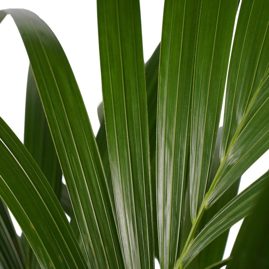 Decorum Kentia Palm - Elho brussels black (27x120 cm)-2