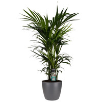 thumb-Decorum Kentia Palm - Elho brussels antracite (27x120 cm)-1