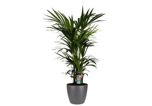 Decorum Kentia Palm - Elho brussels antracite (27x120 cm)