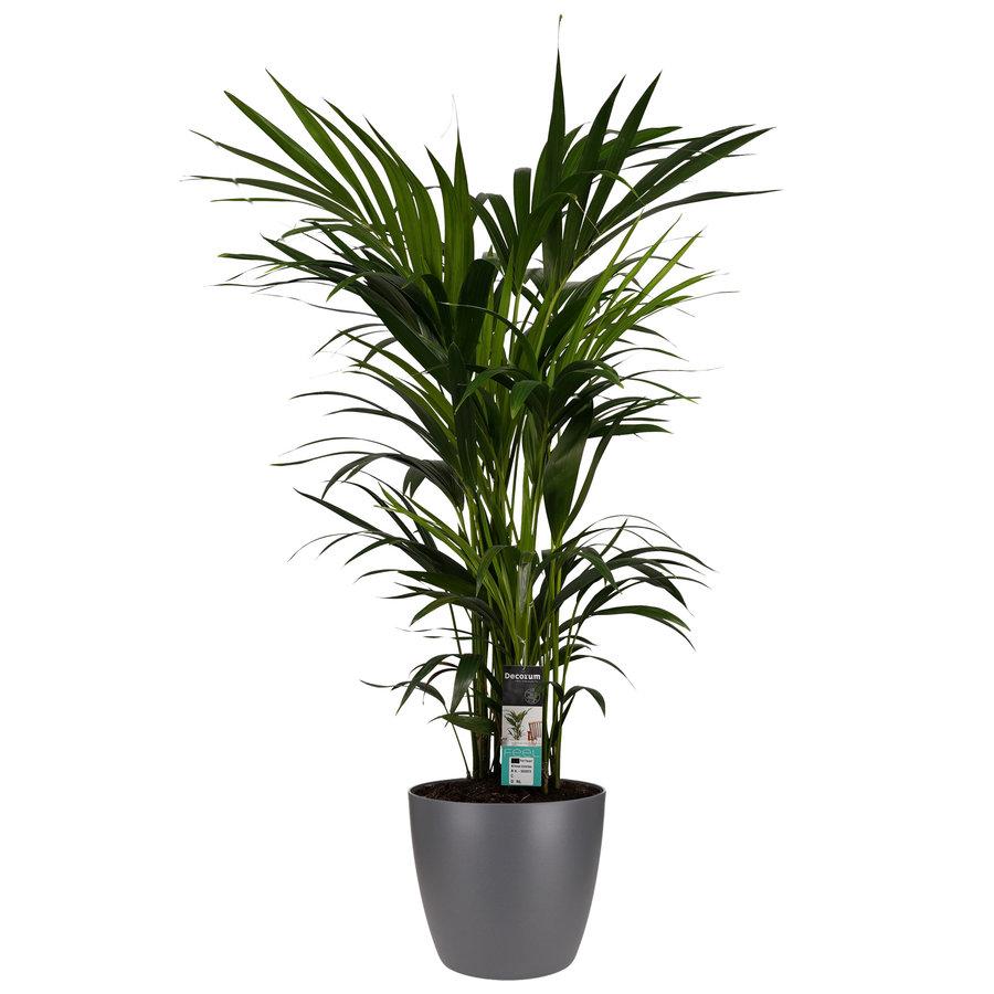 Decorum Kentia Palm - Elho brussels antracite (27x120 cm)-1