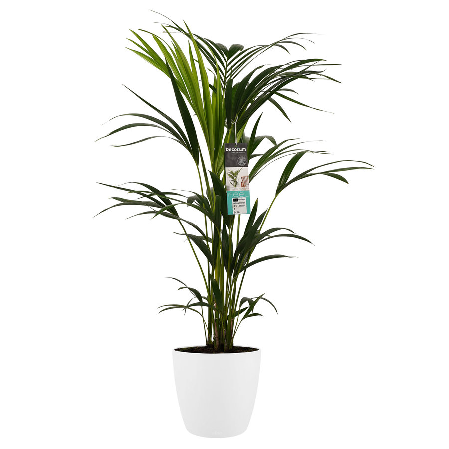 Decorum Kentia Palm - Elho brussels white (21x100 cm)-1