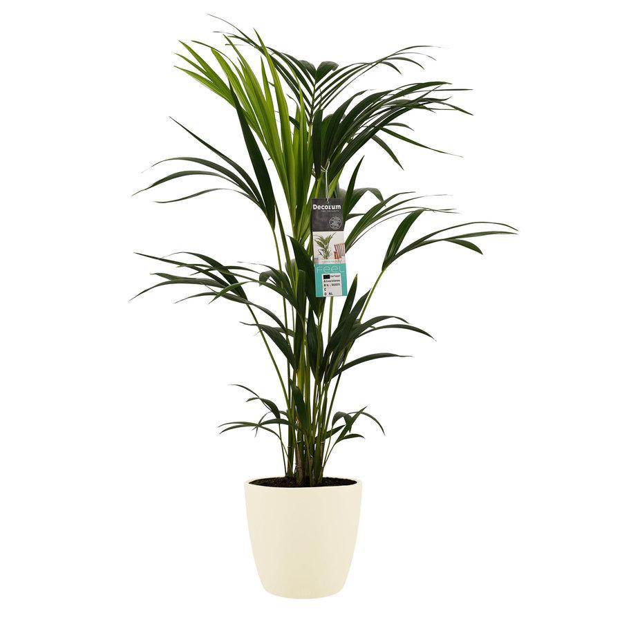 Decorum Kentia Palm - Elho brussels soap (21x100 cm)-1