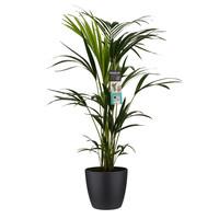 thumb-Decorum Kentia Palm - Elho brussels black (21x100 cm)-1