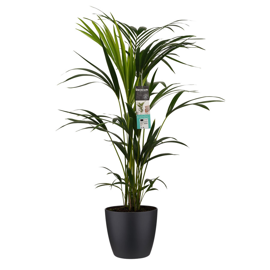 Decorum Kentia Palm - Elho brussels black (21x100 cm)-1