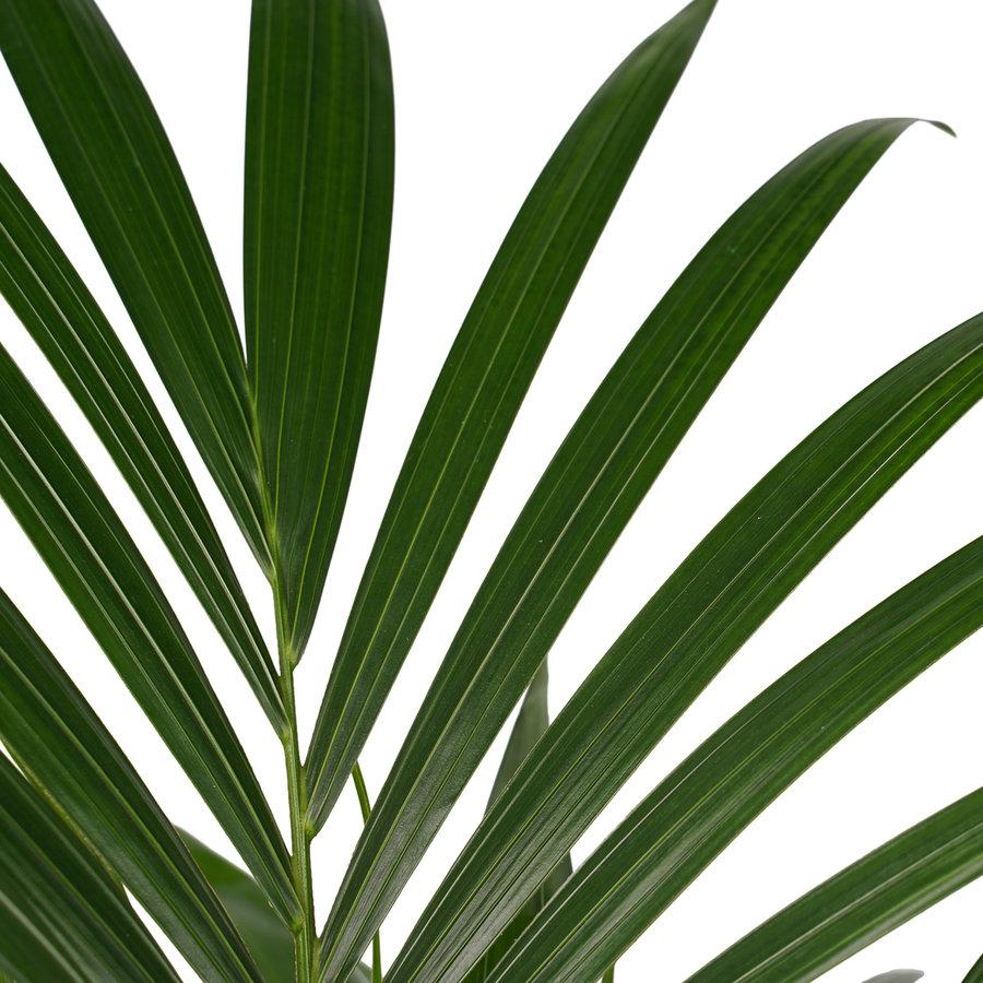 Decorum Kentia Palm - Elho brussels black (21x100 cm)-2