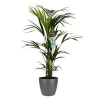 thumb-Decorum Kentia Palm - Elho brussels antracite (21x100 cm)-1