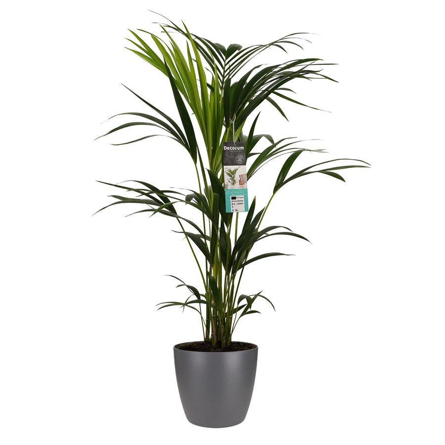 Decorum Kentia Palm - Elho brussels antracite (21x100 cm)-1