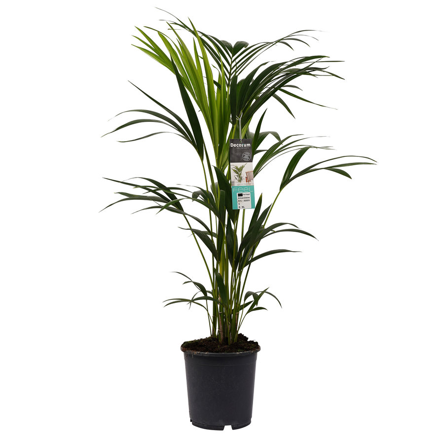 Decorum Kentia Palm (21x100 cm)-1