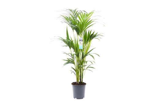 Decorum Kentia (24x120 cm)