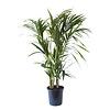 Kentia Palm (Howea Fosteriana - 24x125 cm)