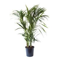 thumb-Kentia Palm (Howea Fosteriana - 24x125 cm)-1