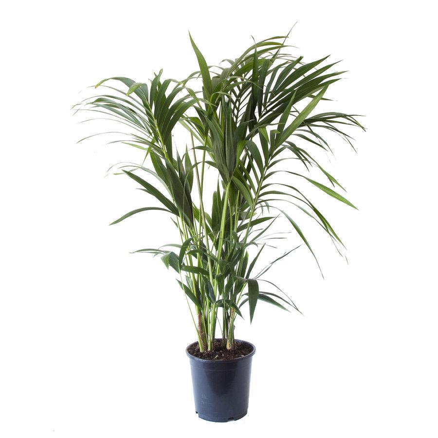 Kentia Palm (Howea Fosteriana - 24x125 cm)-1