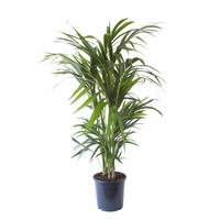 thumb-Kentia Palm (Howea Fosteriana - 24x125 cm)-2