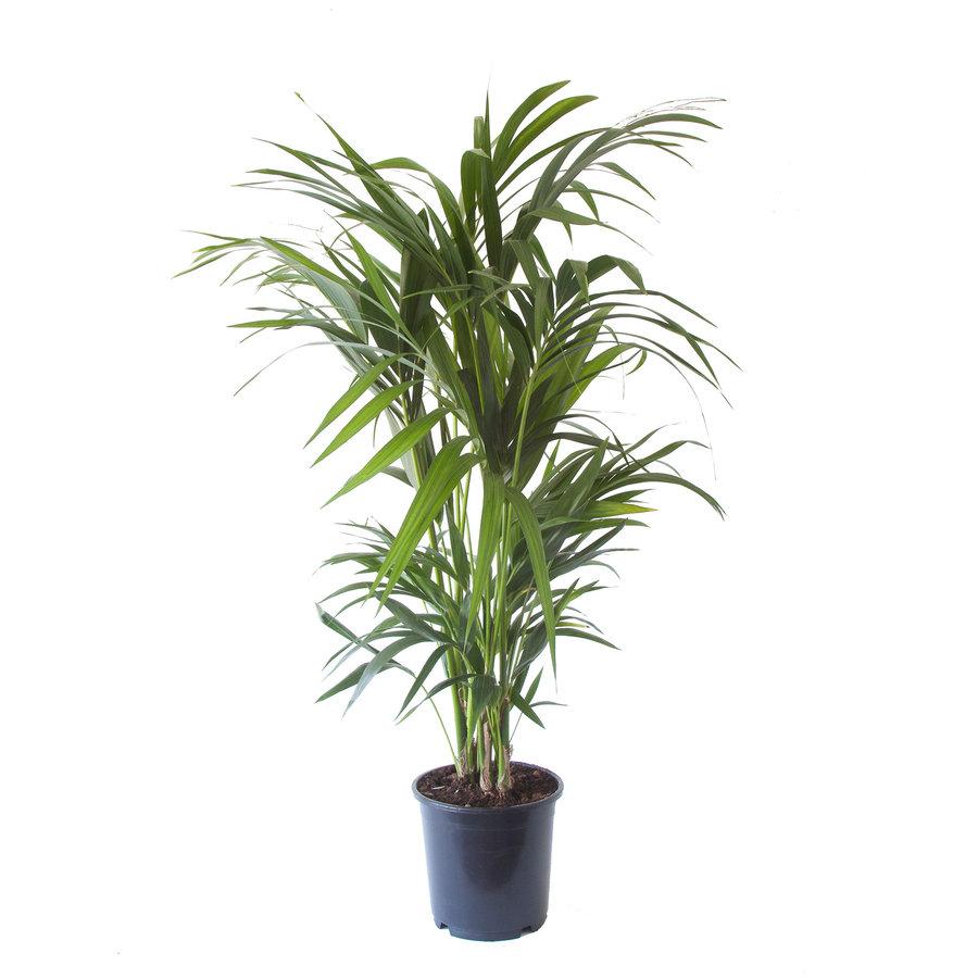Kentia Palm (Howea Fosteriana - 24x125 cm)-2